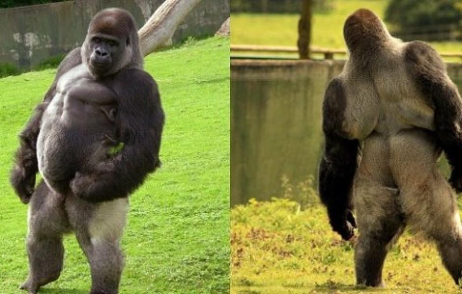 Прямоходячая горилла