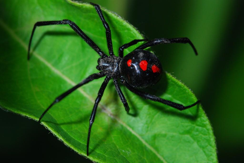 Черная вдова - ядовитый паук