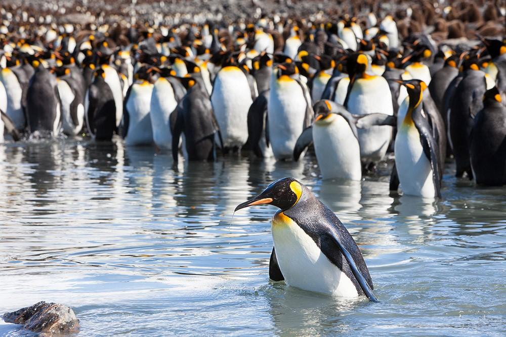 Колония пингвинов