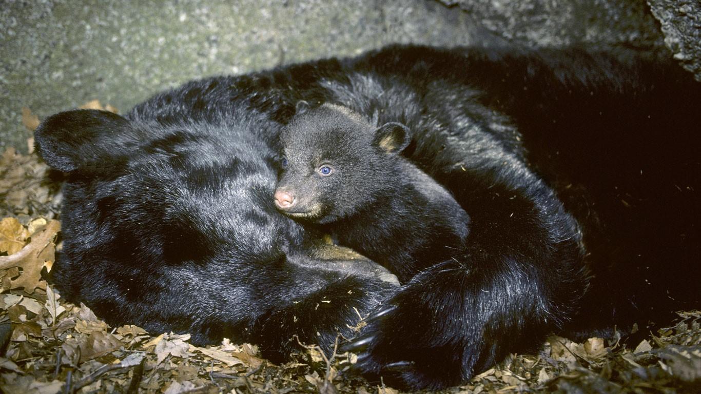 Медведица в спячке с бодрствующим медвежонком