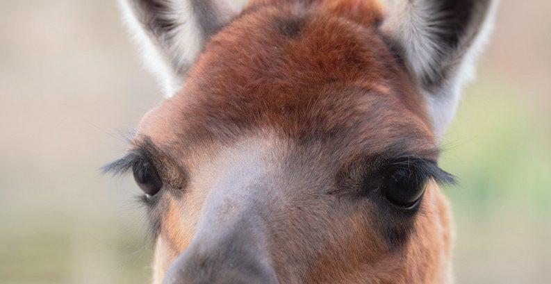 Даже взгляд ламы очарователен из-за ресниц