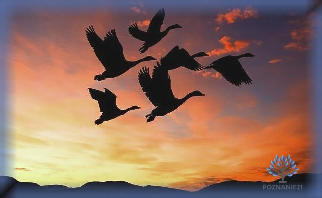 Мигрирующие утки