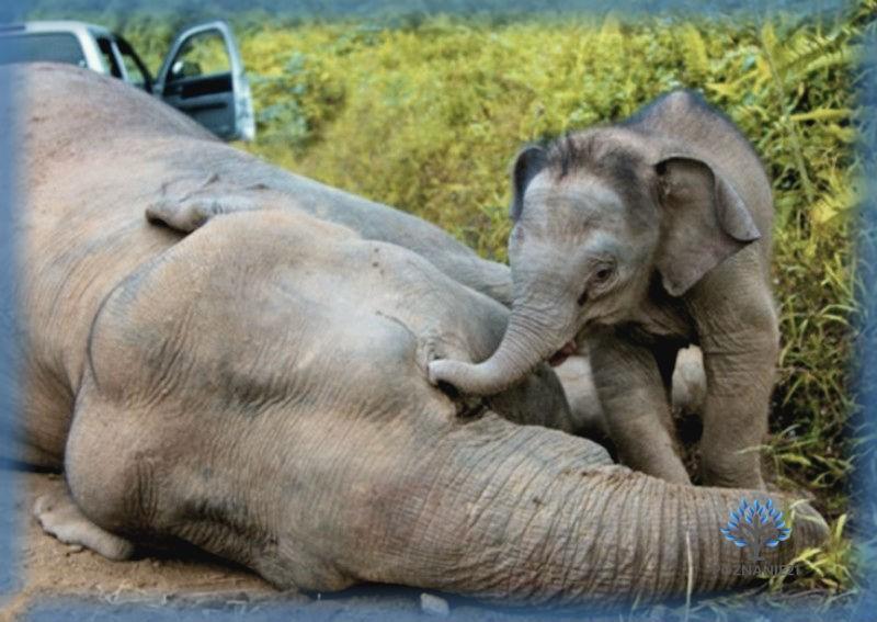 Слоненок скорбит