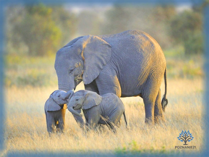 Слониха со слонятами