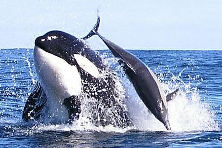 Кит косатка и дельфин