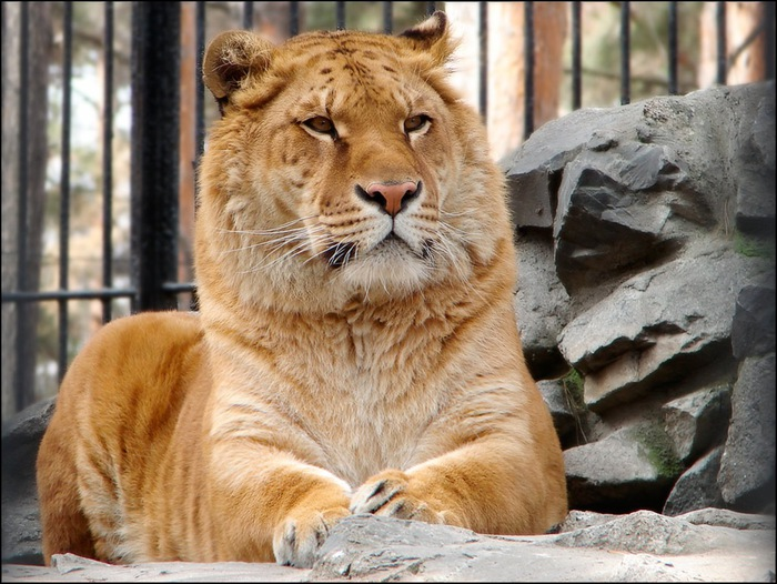 тигрон