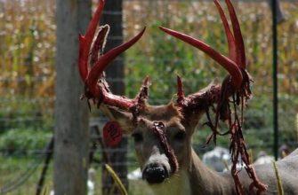 Кровавая дань красоте. Зачем олень делает это?