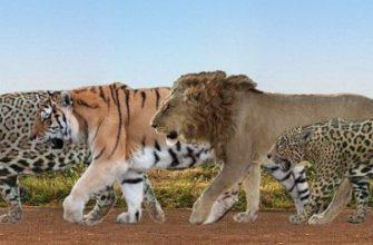 Лигр, ягупард и прочие смеси больших котов