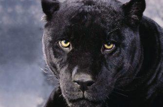 Легендарная кошка, которой не существует: чёрная пантера
