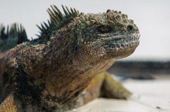 Не с них ли образ дракона списан? Уникальные ящерицы