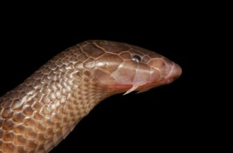 Змея, атакующая не открывая рта