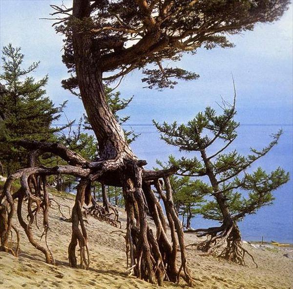 Из книг в реальность или обратно? Шагающие деревья