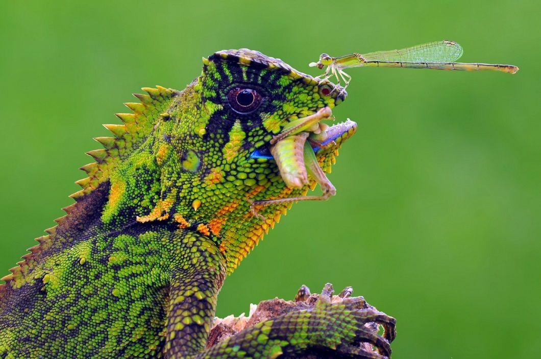 Хамелеон и стрекоза на его носу