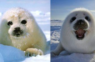 Детеныши разных видов тюленей