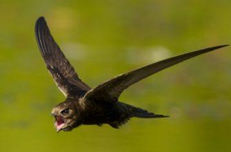 Стриж птица, интересные факты