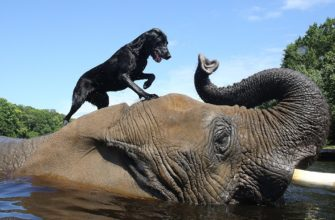 слон с собакой