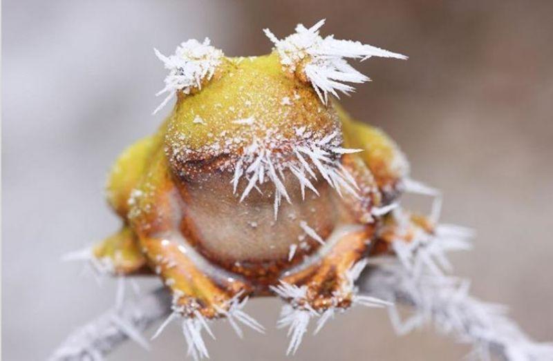 Лягушка, обитающая на Аляске