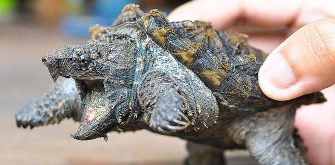 Плотоядная черепаха