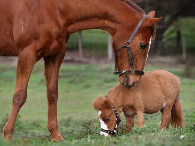 Скаковая лошадь и пони