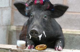 Свиньи - заглавная