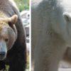 Бурый и белый медведи