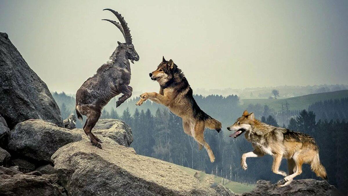 Охота на горного козла
