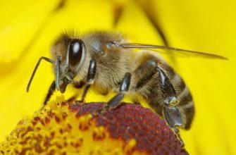 Пчелы - заглавная