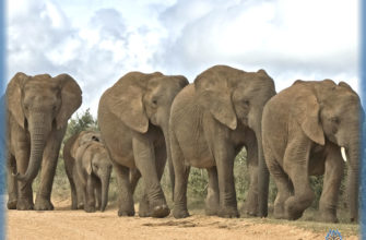 Слоны - заглавная